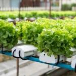 การปลูกผักไฮโดรโปรนิคส์